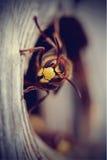 一个大黄蜂-大黄蜂的画象 库存照片
