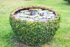 一个大clayed罐的绿色叶子莲花植物有爬行物植物的 库存图片