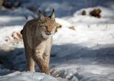 一个天猫座在德国鹿的冬天停放 免版税图库摄影