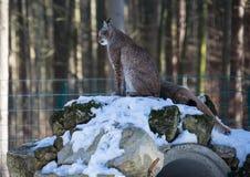 一个天猫座在德国鹿的冬天停放 图库摄影