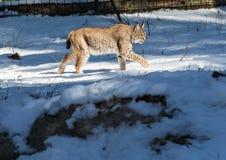一个天猫座在德国鹿的冬天停放 库存图片