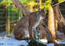 一个天猫座在德国鹿的冬天停放 库存照片