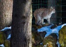一个天猫座在德国鹿的冬天停放 免版税库存图片