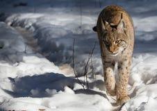一个天猫座在德国鹿的冬天停放 免版税库存照片