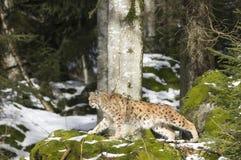 一个天猫座在漂泊森林里 免版税库存照片