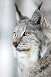 一个天猫座的特写镜头画象在冬天森林里 库存照片