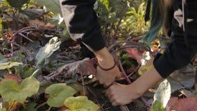 一个女孩在拉扯一个紫色无头甘蓝白萝卜的庭院里土壤 一个特写镜头 股票录像