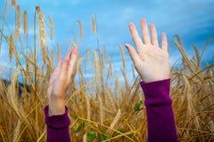 一个女孩的手麦田的 库存图片