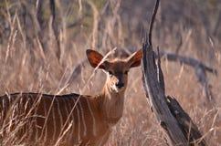 一个女性Kudu大型装配架 免版税库存照片