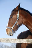 一个好的纯血统捐税的马冬天畜栏的画象 免版税库存照片