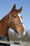 一个好的纯血统马冬天畜栏农村场面的画象 免版税库存图片