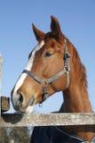 一个好的纯血统马冬天畜栏农村场面的画象 免版税库存照片