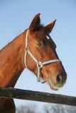 一个好的纯血统马冬天畜栏农村场面的画象 库存照片