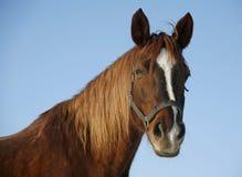 一个好的纯血统马冬天畜栏的画象 库存图片