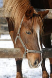 一个好的纯血统马冬天畜栏的画象 免版税库存图片