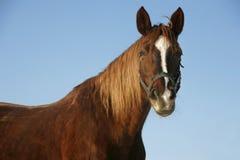 一个好的纯血统马冬天畜栏的画象 库存照片