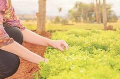 一个妇女采摘莴苣的手在农场的一个菜园的 图库摄影