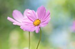 一个嫩对桃红色花 背景看板卡花卉问候页夏天模板普遍性万维网 选择聚焦 免版税库存照片
