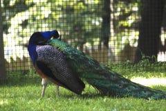 一个孔雀在动物园里 免版税库存照片