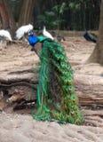 一个孔雀在深圳动物园里 库存图片