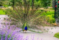 一个孔雀在维多利亚` s信标岗公园 库存图片