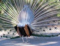 一个孔雀的充分的显示从后面 免版税库存图片