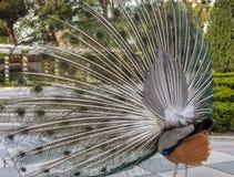 一个孔雀的背面图与部署的羽毛的在都市公园 图库摄影
