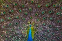 一个孔雀的画象在他的尾巴背景的  特写镜头 斯里南卡 免版税图库摄影