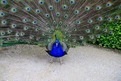 一个孔雀 免版税图库摄影