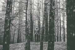 一个孤独的人在秋天时间的一个杉木森林里 单色 库存照片