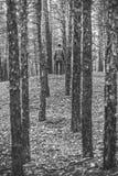 一个孤独的人在秋天时间的一个杉木森林里 单色 图库摄影