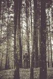 一个孤独的人在秋天时间的一个杉木森林里 单色 免版税库存图片