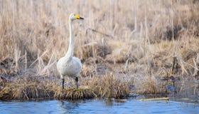 一个孤立成人迁移美洲天鹅特写镜头 站立在水附近的一只白色天鹅 候鸟在白俄罗斯 Bialowieza森林R 图库摄影