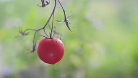 一个孤立红色莓果 股票视频