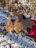 一个孩子举行的橡木叶子在冬天 免版税库存照片