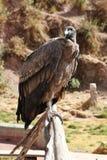 一个安第斯秃鹰的纵向 库存照片