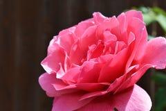 一个完善的红色玫瑰标本 免版税库存图片