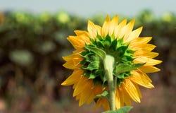 一个害羞的向日葵 免版税库存照片
