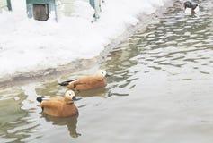 一个对与美丽的全身羽毛的红色鸭子,游泳在池塘,  库存照片
