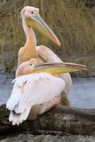一个对伟大的白色鹈鹕, Pelecanus onocrotalus,在冬天颜色 库存照片