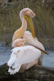 一个对伟大的白色鹈鹕, Pelecanus onocrotalus,在冬天颜色 库存图片