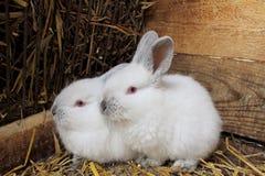 一个对兔子。 免版税库存照片
