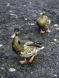 一个对加拿大鸭子 免版税库存照片