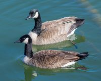 一个对加拿大鹅游泳 免版税库存图片