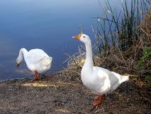 一个对在一个岸边的湖的白色加拿大鹅 免版税库存照片