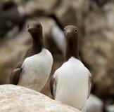 一个对在内在Farne的海雀科的鸟 免版税库存图片