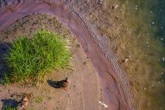 一个对在小海岛的鸭子 库存照片