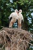 一个对在巢的鹳 免版税库存照片