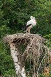 一个对在巢的鹳 库存图片