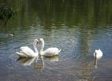 一个对在池塘的白色天鹅 免版税库存图片
